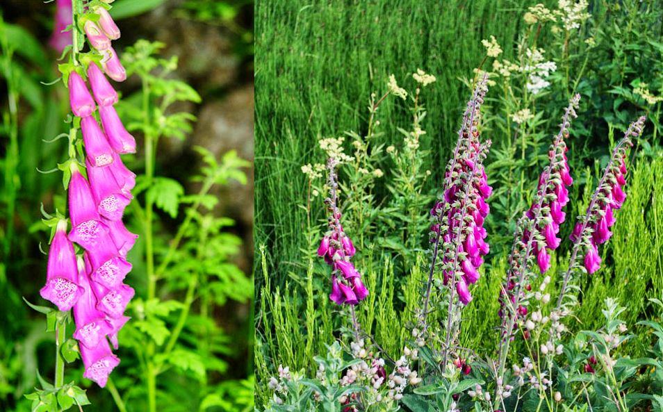 La digitale une plante contre l 39 insuffisance cardiaque - Plante contre l humidite dans la maison ...