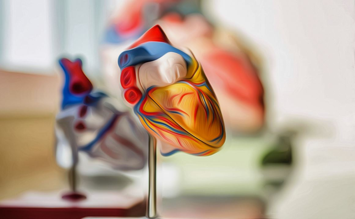 représentation du coeur humain