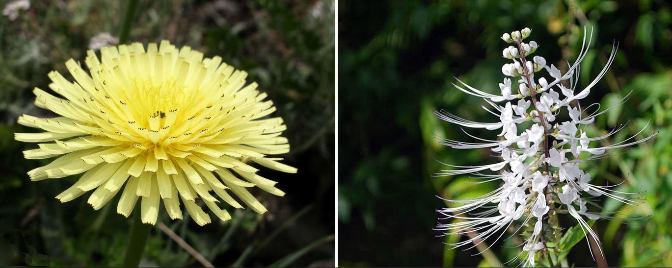 fleur piloselle orthosiphon