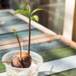 La pousse de graine de plante d'avocat et la croissance dans la tasse en plastique avec l'eau